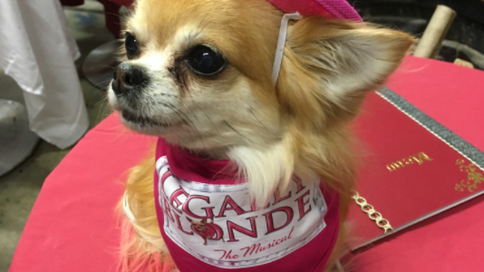 Minnie our Chihuahua in Legally Blonde!